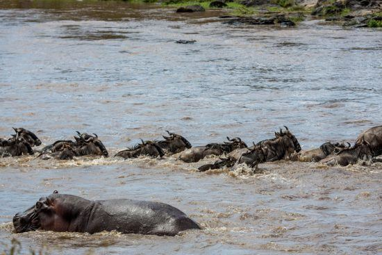 Hippo next to wildebeest as they cross the Mara River