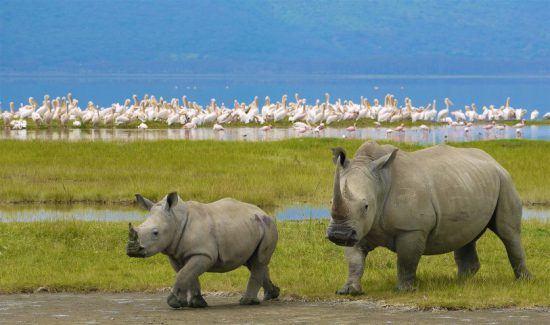 Spitzmaulnashorn mit Jungtier im grünen Gras vor einem See, in dem sich Flamingos tummeln
