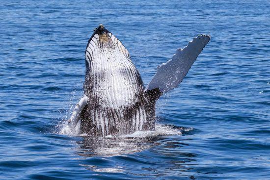 Une baleine à bosse en Afrique du Sud