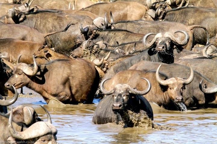 Eine Büffelherde leicht panisch im Wasser