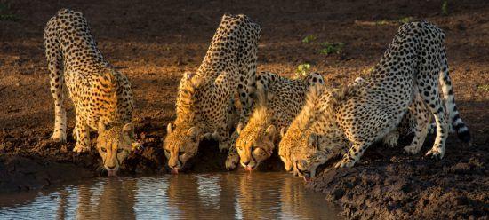 Cheetahs drinking from the waterhole