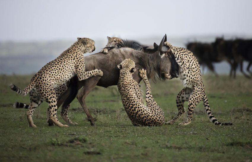 Geparden attackieren Gnu