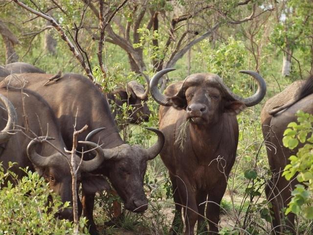 Mehrere Büffel im Dickicht beim Fressen