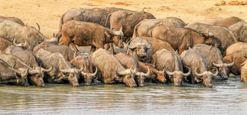 Eine Herde Büffel trinkt an einem sehr trockenen Ufer