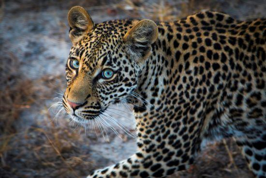 A young leopard with blue eyes