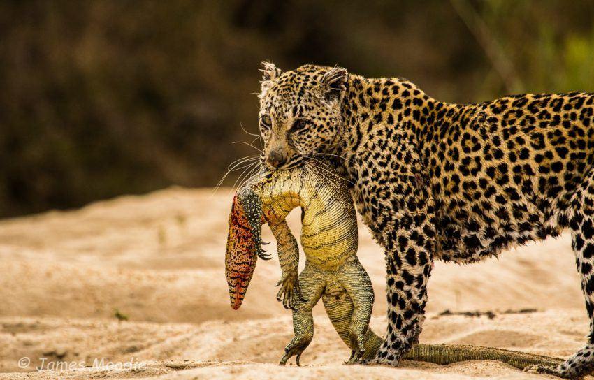 Leopard mit Echse