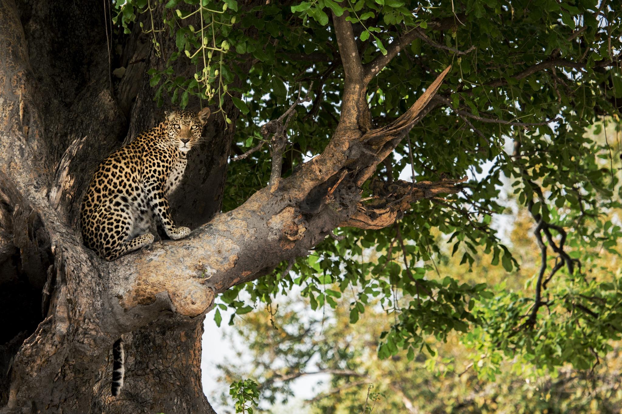 Árbol sentado leopardo Mombo Camp Delta del Okavango Botswana