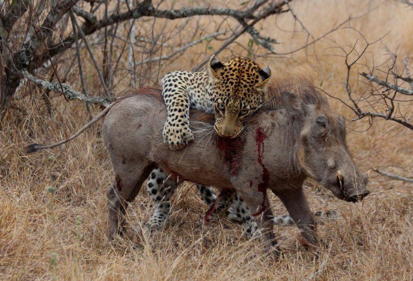 Leopard mit Warzenschwein