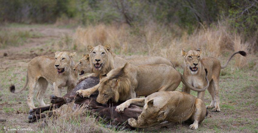 Löwenrudel attackiert Büffel