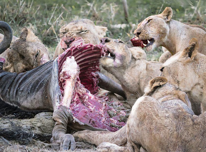 Löwen mit Beute