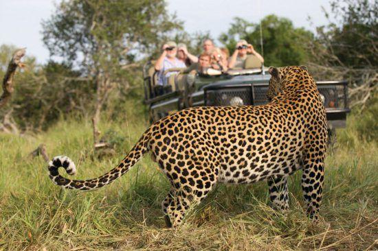 Hóspedes fotografam leopardo em MalaMala Game Reserve
