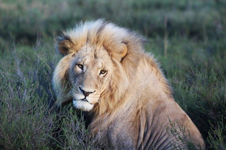 Männlicher Löwe mit beeindruckender Mähne sitzt im Gras