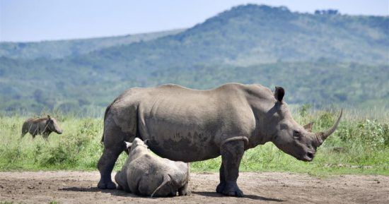 Babynashorn und Mutter im Hluhluwe-Imfolozi Park