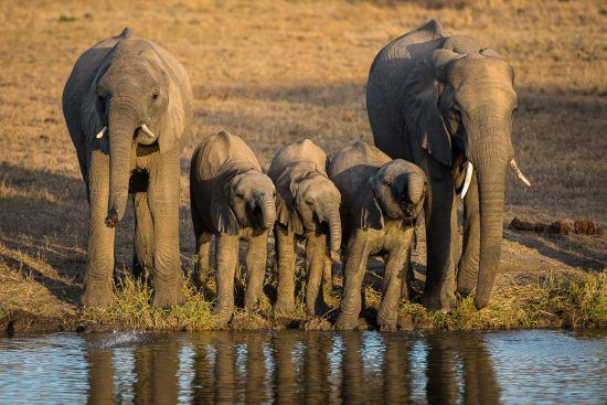 elephants drinking at river