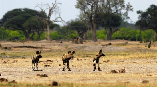 Wild dogs in Hwange in Zimbabwe