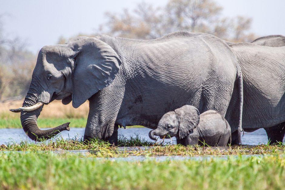 young elephant drinking water camp botswana