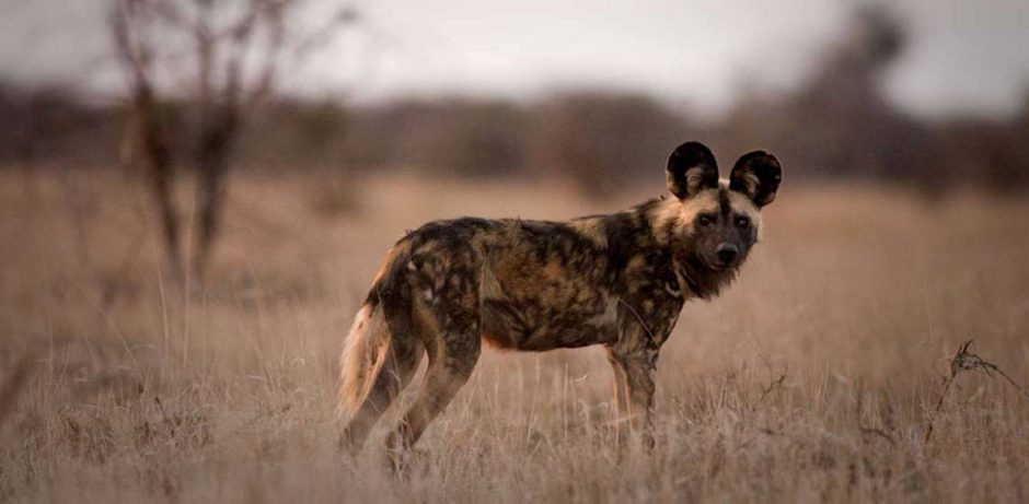 A wild dog looks different to a hyena