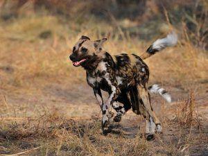 Wild Dog ou chien sauvage courant dans la savane Africaine.