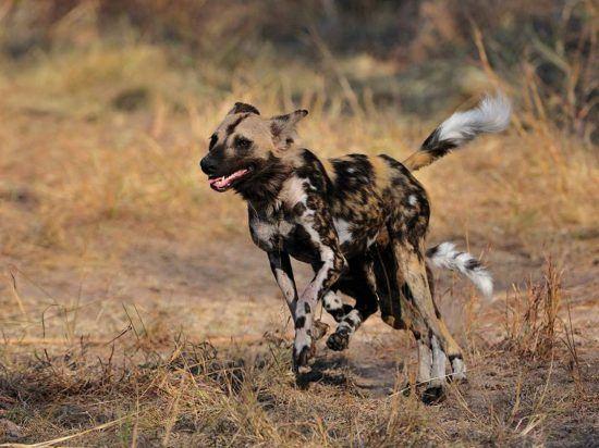 An endangered African wild dog running