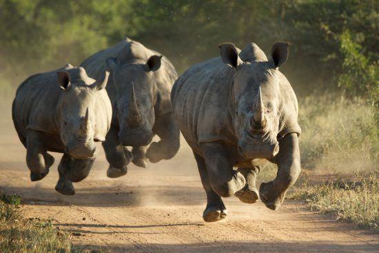 Aquí viene la manada de rinocerontes
