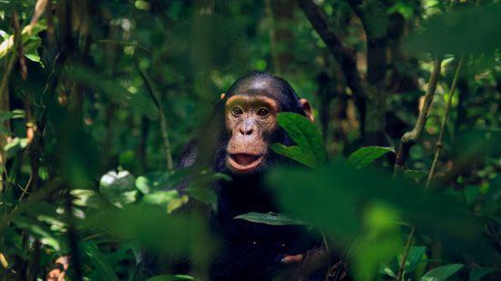 An endangered chimpanzee in the greenery