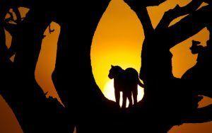 Silhueta de um leopardo em uma árvore ao pôr-do-sol