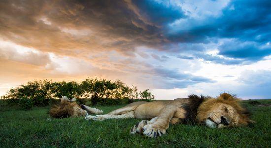 Löwen am relaxen