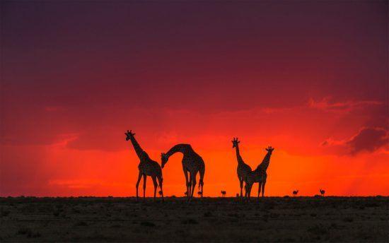 Giraffen bei Sonnenuntergang