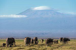 Éléphants dans le Parc National d'Amboseli avec le Kilimandjaro en toile de fond