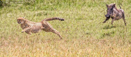 Gepard wird gejagt
