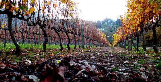 The vineyards during Autumn in Groot Constantia