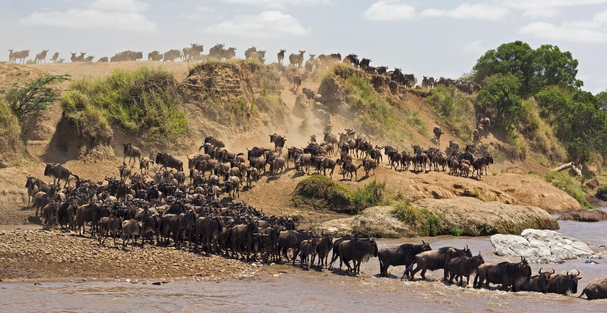 Los ñus cruzan el río durante la Gran Migración