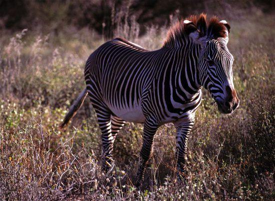 Endangered Grevy's zebra in Africa