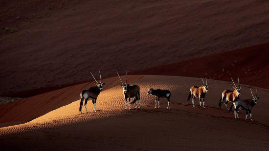Antilopen Namibia Wüste