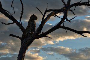 Leopardo em uma árvore ao anoitecer na savana africana