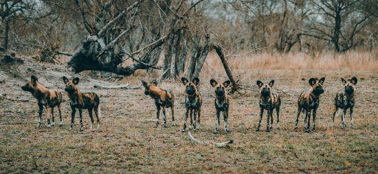 Wildhundrudel im Busch
