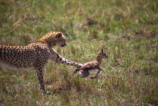 Gepard fängt Gazellenbaby