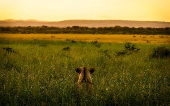 Löwin in der Steppe