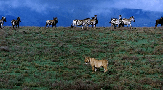 Leoa e zebras na Cratera de Ngorongoro - Wikimedia Commons