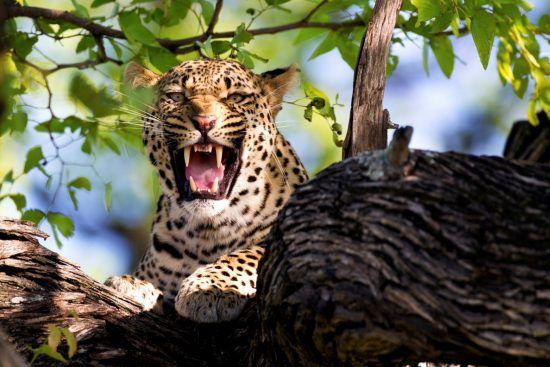Fauchender Leopard auf Baum