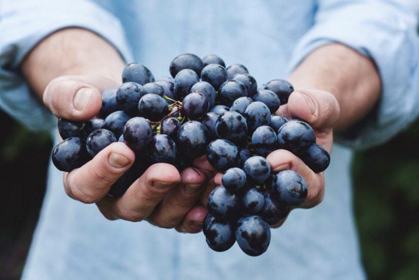 Uvas para la producción de vino
