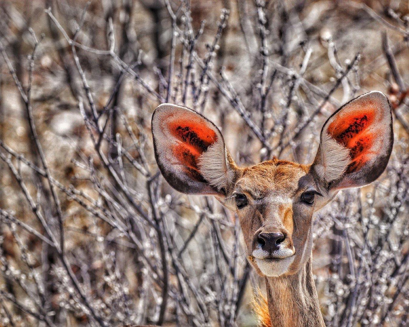 Gazelle Nahaufnahme