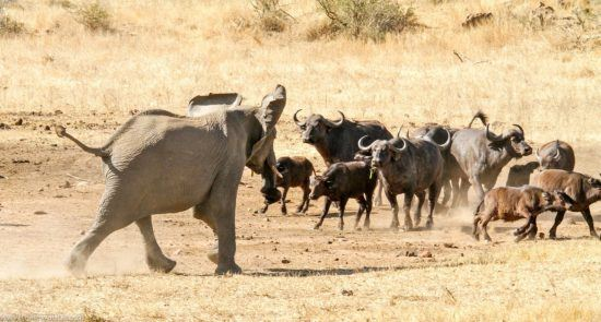 Elefant verscheucht Büffel