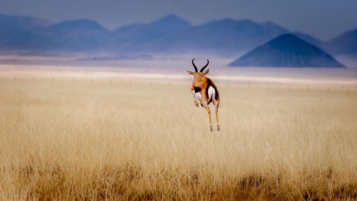Gazelle springt davon