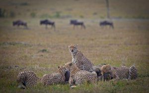 Guepardos na savana queniana