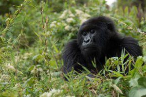 Gorille des montagnes adulte dans la jungle