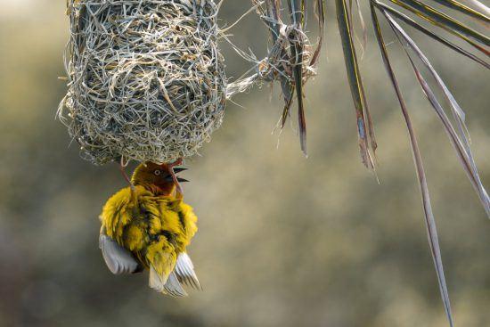 Vogel Nestbau