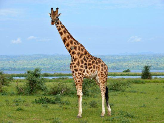 Endangered Rothschild's giraffe in Africa