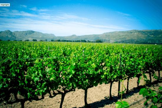 Vineyards at Constantia Uitsig