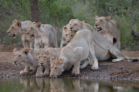 Löwinnen am Wasserloch